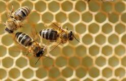 Ciérrese encima de la opinión las abejas de trabajo Imágenes de archivo libres de regalías