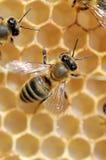 Ciérrese encima de la opinión las abejas de trabajo Foto de archivo libre de regalías