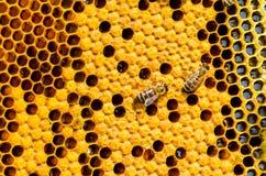Ciérrese encima de la opinión las abejas de trabajo Fotografía de archivo