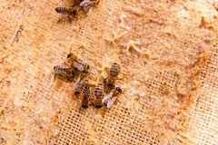 Ciérrese encima de la opinión las abejas de trabajo Foto de archivo