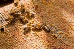 Ciérrese encima de la opinión las abejas de trabajo Fotos de archivo libres de regalías