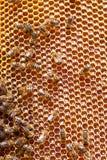 Ciérrese encima de la opinión las abejas de trabajo Fotos de archivo