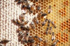 Ciérrese encima de la opinión las abejas de trabajo en el panal Fotografía de archivo