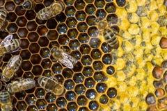 Ciérrese encima de la opinión las abejas de trabajo en honeycells Imagen de archivo libre de regalías