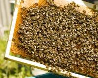 Ciérrese encima de la opinión las abejas de trabajo en las células de la miel Imagenes de archivo