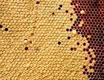 Ciérrese encima de la opinión las abejas, larvas de la abeja en las células de la miel Imagen de archivo