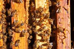 Ciérrese encima de la opinión las abejas que pululan en un panal Imágenes de archivo libres de regalías