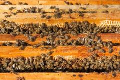 Ciérrese encima de la opinión las abejas que pululan en un panal Imagen de archivo libre de regalías