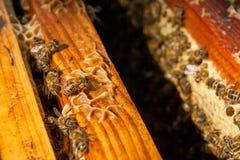 Ciérrese encima de la opinión las abejas que pululan en un panal Fotos de archivo libres de regalías