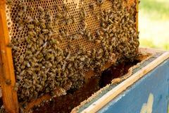 Ciérrese encima de la opinión las abejas que pululan en un panal Fotos de archivo