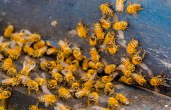 Ciérrese encima de la opinión las abejas de trabajo, cerca de un peine y de abejas de trabajo Fotos de archivo libres de regalías