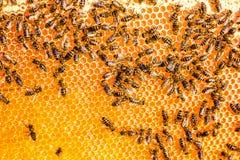Ciérrese encima de la opinión las abejas de trabajo en el panal en colmenar con la miel dulce La miel es producción sana de la ap Imagen de archivo
