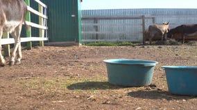 Ciérrese encima de la opinión los burros que pastan en corral con la cerca de madera en la granja almacen de video