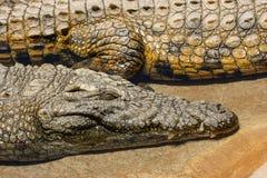 Ciérrese encima de la opinión los cocodrilos del Nilo en una orilla del río fotografía de archivo libre de regalías