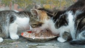 Ciérrese encima de la opinión sobre dos pequeños gatitos que comen la comida para gatos de un platillo Animales domésticos en el  almacen de metraje de vídeo