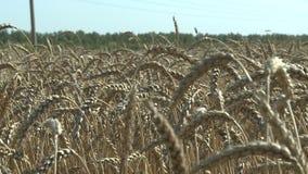 Ciérrese encima de la opinión sobre trigo en el día del simmer metrajes