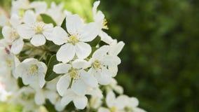 Ciérrese encima de la opinión sobre una rama floreciente blanca del cerezo Flores blancas de las flores de cerezo en un día de pr Fotos de archivo