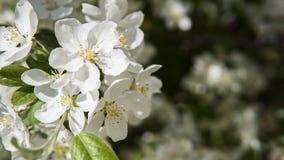 Ciérrese encima de la opinión sobre una rama floreciente blanca del cerezo Flores blancas de las flores de cerezo en un día de pr Fotos de archivo libres de regalías