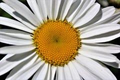 Ciérrese encima de la opinión superior la margarita de Shasta Imagen de archivo libre de regalías