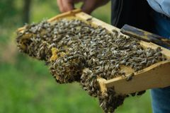 Ciérrese encima de la opinión un granjero que lleva a cabo el marco con las abejas Imágenes de archivo libres de regalías