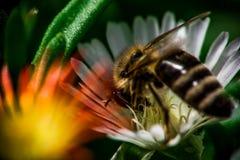 Ciérrese encima de la opinión una abeja en el jardín Foto de archivo libre de regalías
