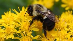 Ciérrese encima de la opinión una abeja en una flor almacen de metraje de vídeo