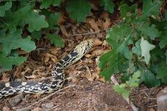 Ciérrese encima de la opinión una serpiente de Gopher (Pituophis Catenifer) Foto de archivo