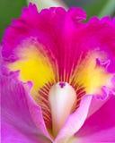 Ciérrese encima de la orquídea de Cattleya Imagen de archivo libre de regalías