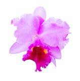 Ciérrese encima de la orquídea de Cattleya Fotos de archivo
