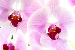 Ciérrese encima de la orquídea rosada (el estilo de la luz suave) Foto de archivo libre de regalías