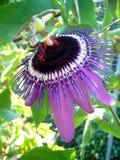 Ciérrese encima de la pasionaria Caerulea - flor de la pasión Fotos de archivo libres de regalías