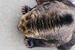 Ciérrese encima de la piel del cuello del oso de Brown aumentado que se arrastra en la tierra concreta en el parque del oso de No Imagen de archivo libre de regalías