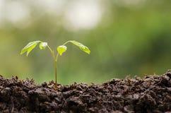 Ciérrese encima de la plántula que crece con descenso del agua de lluvia Imagen de archivo libre de regalías