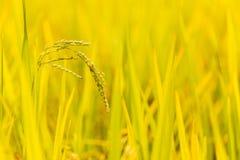 Ciérrese encima de la planta y de las semillas de arroz Fotografía de archivo libre de regalías