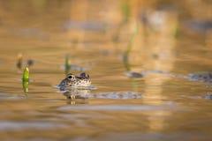 Ciérrese encima de la rana de Brown y de x28; Temporaria& x29 del Rana; Fotos de archivo libres de regalías