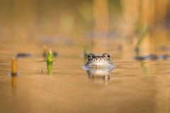 Ciérrese encima de la rana de Brown y de x28; Temporaria& x29 del Rana; Foto de archivo libre de regalías