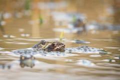 Ciérrese encima de la rana de Brown y de x28; Temporaria& x29 del Rana; Fotografía de archivo libre de regalías