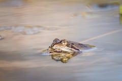 Ciérrese encima de la rana de Brown y de x28; Temporaria& x29 del Rana; Foto de archivo