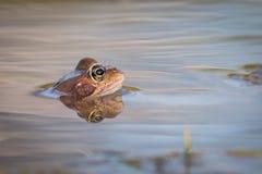 Ciérrese encima de la rana de Brown y de x28; Temporaria& x29 del Rana; Imagenes de archivo