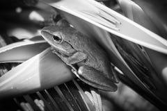 Ciérrese encima de la rana del arbusto, leucomystax del Polypedates, rana arbórea Imagen de archivo libre de regalías