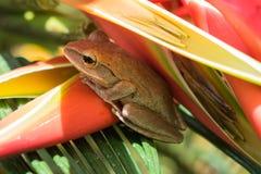 Ciérrese encima de la rana del arbusto, leucomystax del Polypedates, rana arbórea en natur Imágenes de archivo libres de regalías