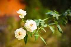 Ciérrese encima de la rosa blanca tres hermosos en rama verde Rose y brote en jardín Fondo de las tarjetas del día de San Valentí foto de archivo libre de regalías