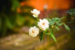 Ciérrese encima de la rosa blanca tres hermosos en rama verde Rose y brote en jardín Fondo de las tarjetas del día de San Valentí foto de archivo