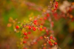 Ciérrese encima de la textura abstracta de las bayas y de la hoja de la perro-rosa en las ramas fotografía de archivo