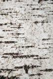 Ciérrese encima de la textura de la corteza de abedul, fondo Foto de archivo