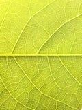 Ciérrese encima de la textura de la hoja de la nuez Fotos de archivo