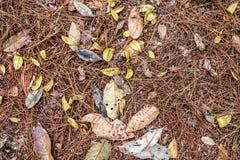 Ciérrese encima de la tierra del pino del bosque de la visión superior Fotografía de archivo