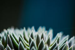 Ciérrese encima de la vista de la planta del succulent de la simetría fotos de archivo libres de regalías