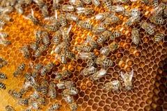 Ciérrese encima de la vista de las abejas de trabajo y del polen recogido en el panal Fotos de archivo libres de regalías