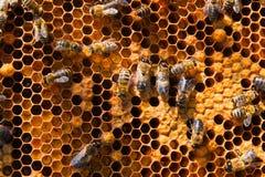 Ciérrese encima de la vista de las abejas de trabajo y del polen recogido en ho Fotografía de archivo libre de regalías